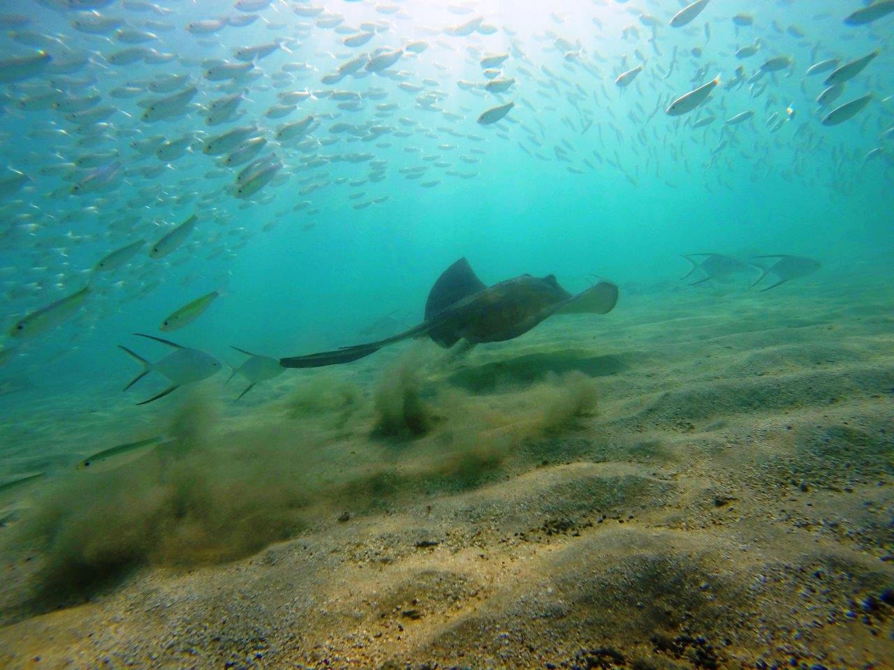 8 Great Camanoe Cam Bay stingray