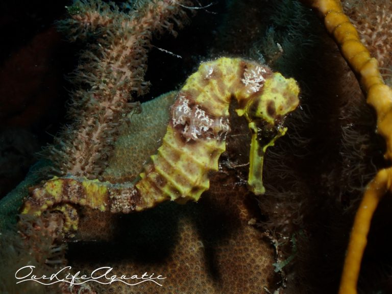 Longsnout Sea Horse
