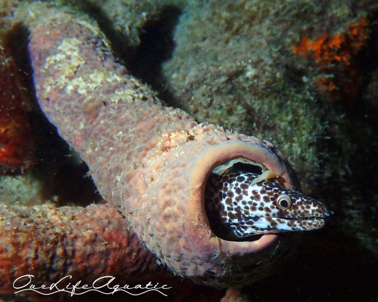 Spotted Moray in a sponge