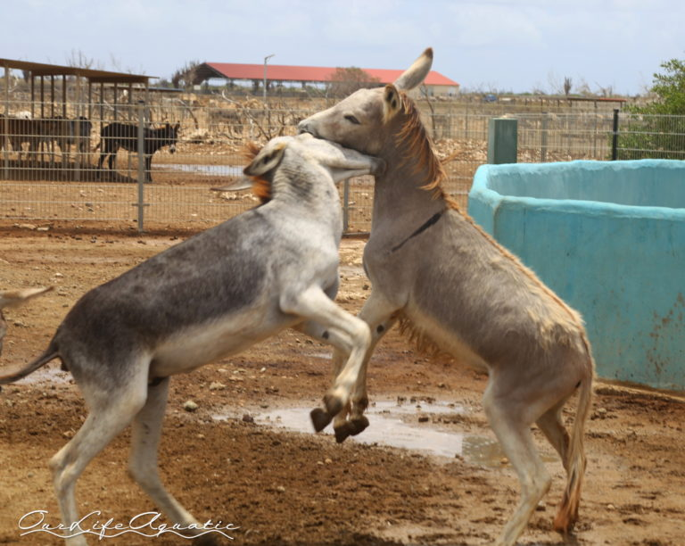 BON - Donkeys (12)