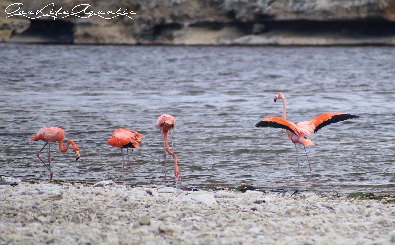 Wild flamingos