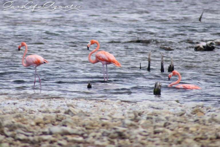 That same algae is what gives the flamingos their color