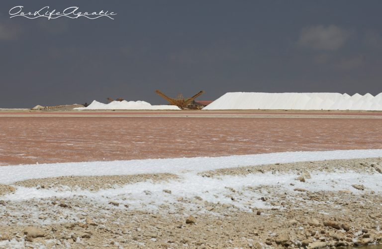 Salt ponds turn pink due to algae