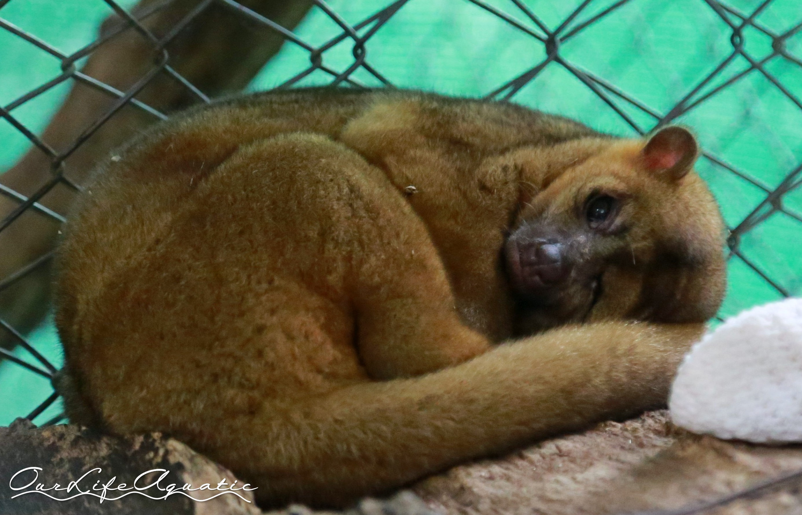 these cuddly kinkajou will rip your face off if you get close