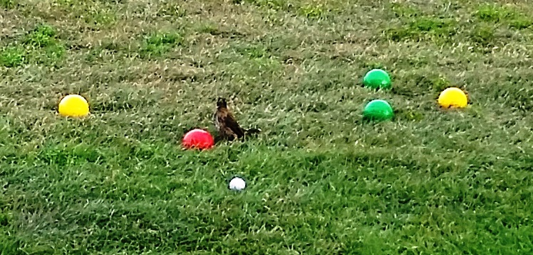 This bird repeatedly flew down to inspect after the red balls were thrown.