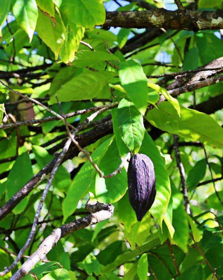 Cocoa bean pod
