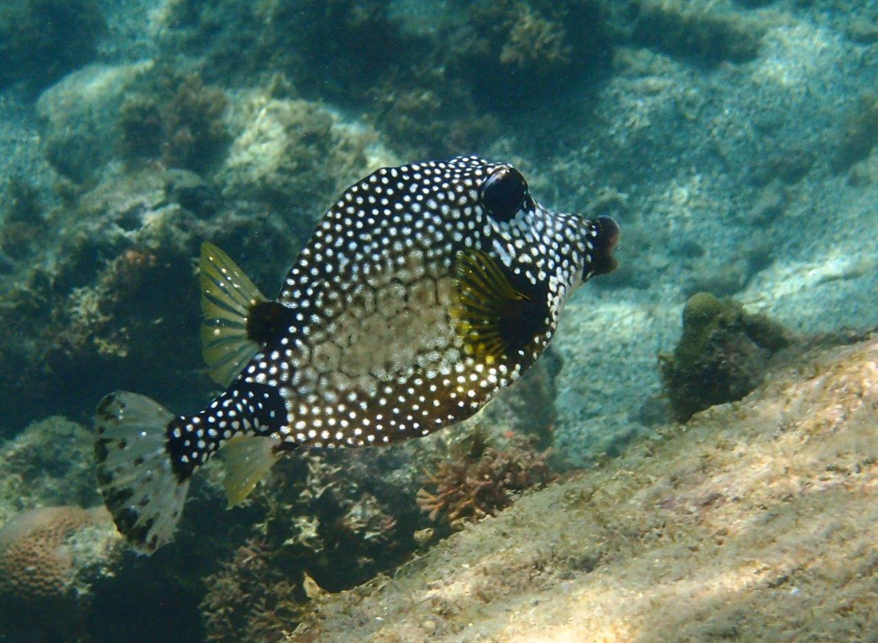 Smooth Trunkfish like to chill in the shade of our hull
