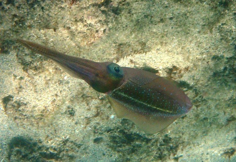 Caribbean Squid abound