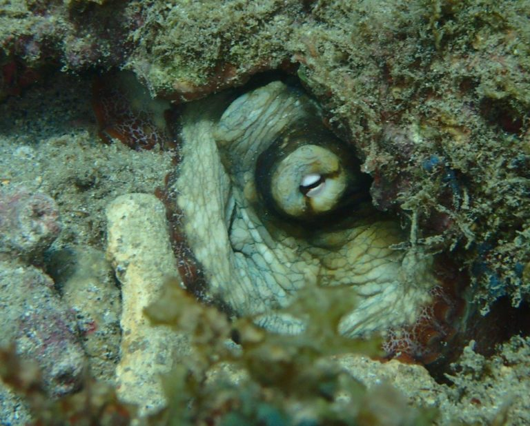 A common octopus trying to hide