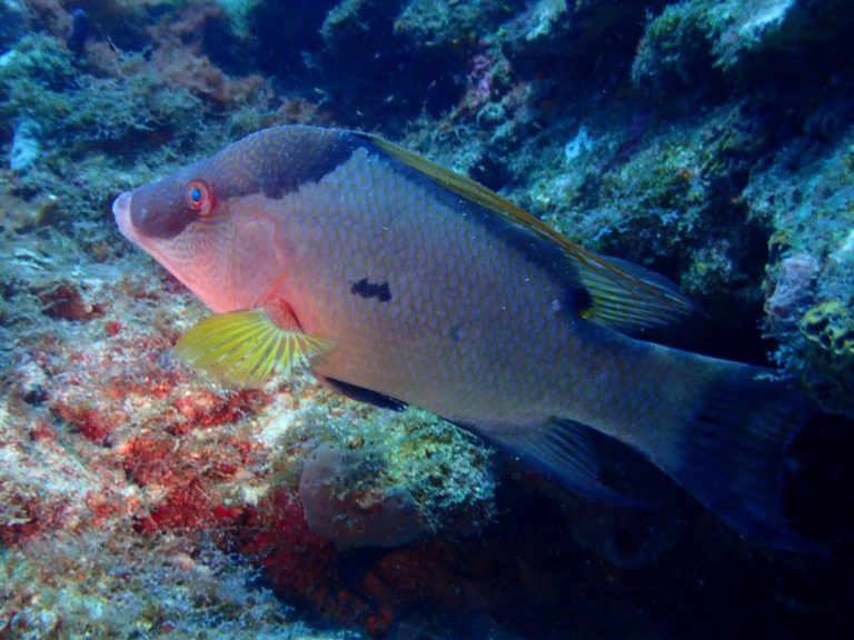 Normally, outside a marine reserve, this Hogfish would be dinner