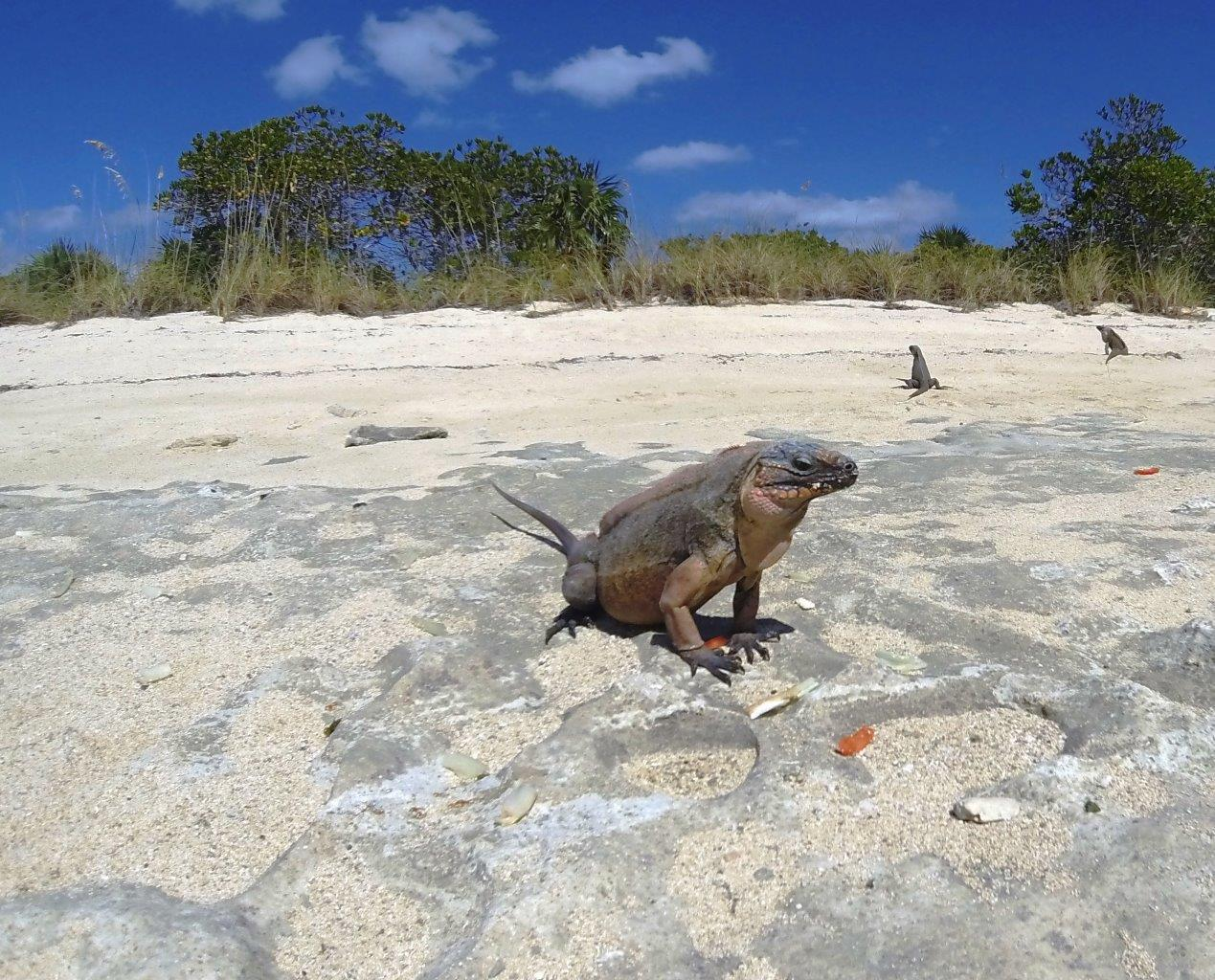 Iguanas at SW Allens Cay