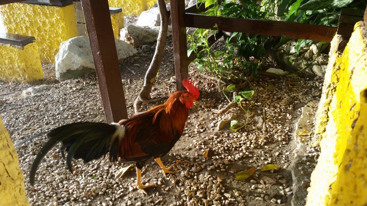 la-parguera-rooster