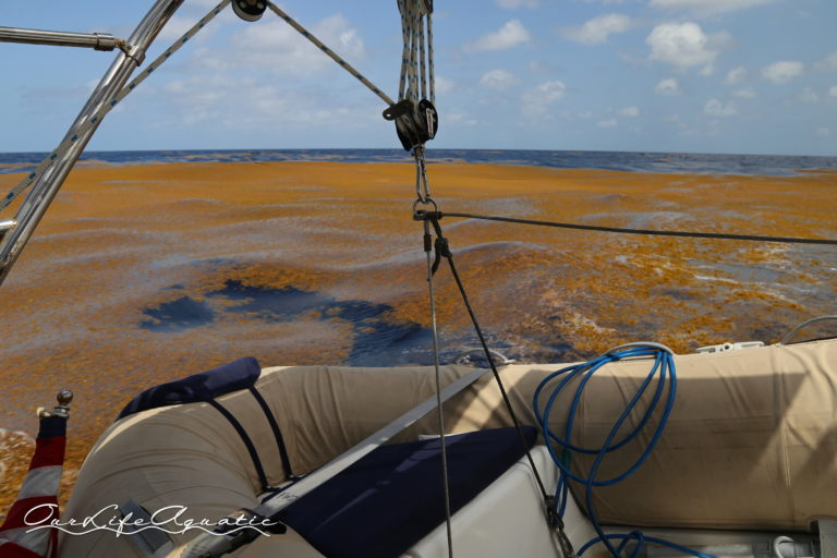 Unusually heavy sargassum this season turned the sea orangey