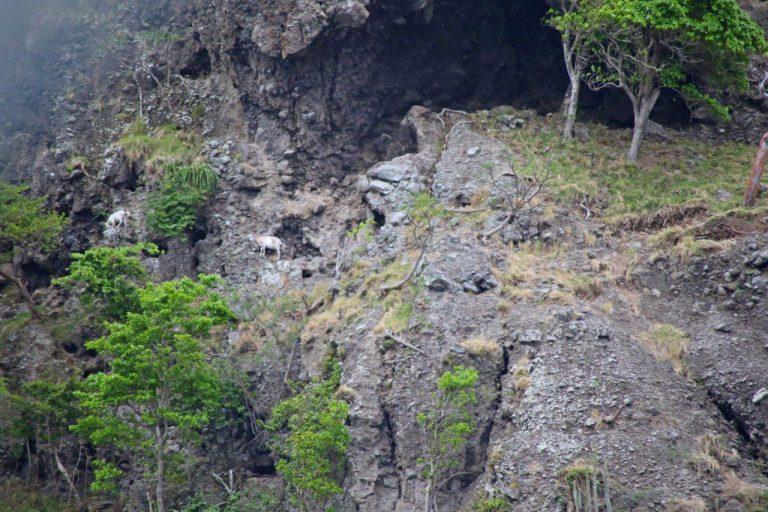 Montserat - Goats (2)
