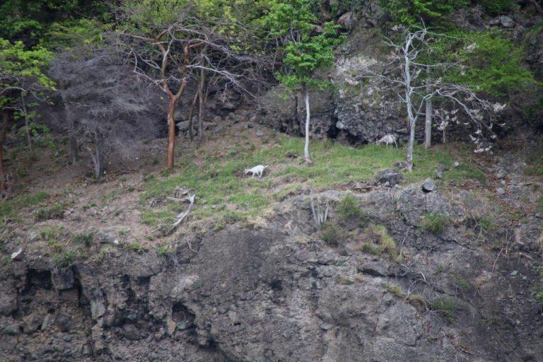 Montserat - Goats (5)