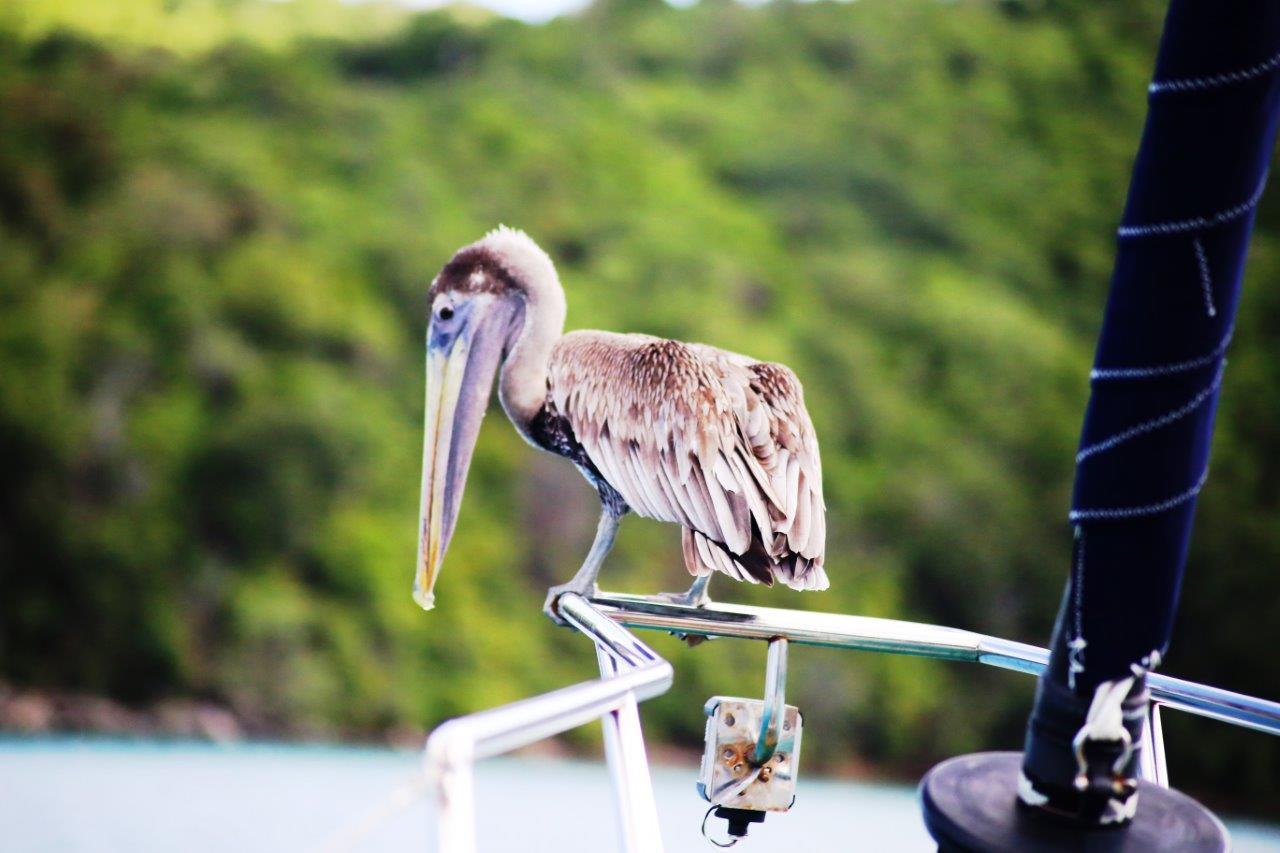 Pelicans (10)