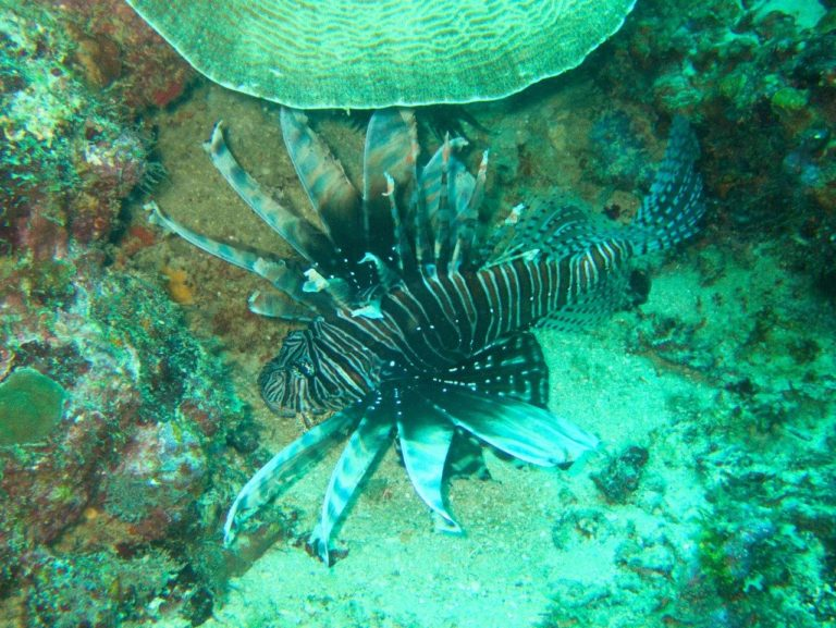 Lionfish, it's what's for dinner!
