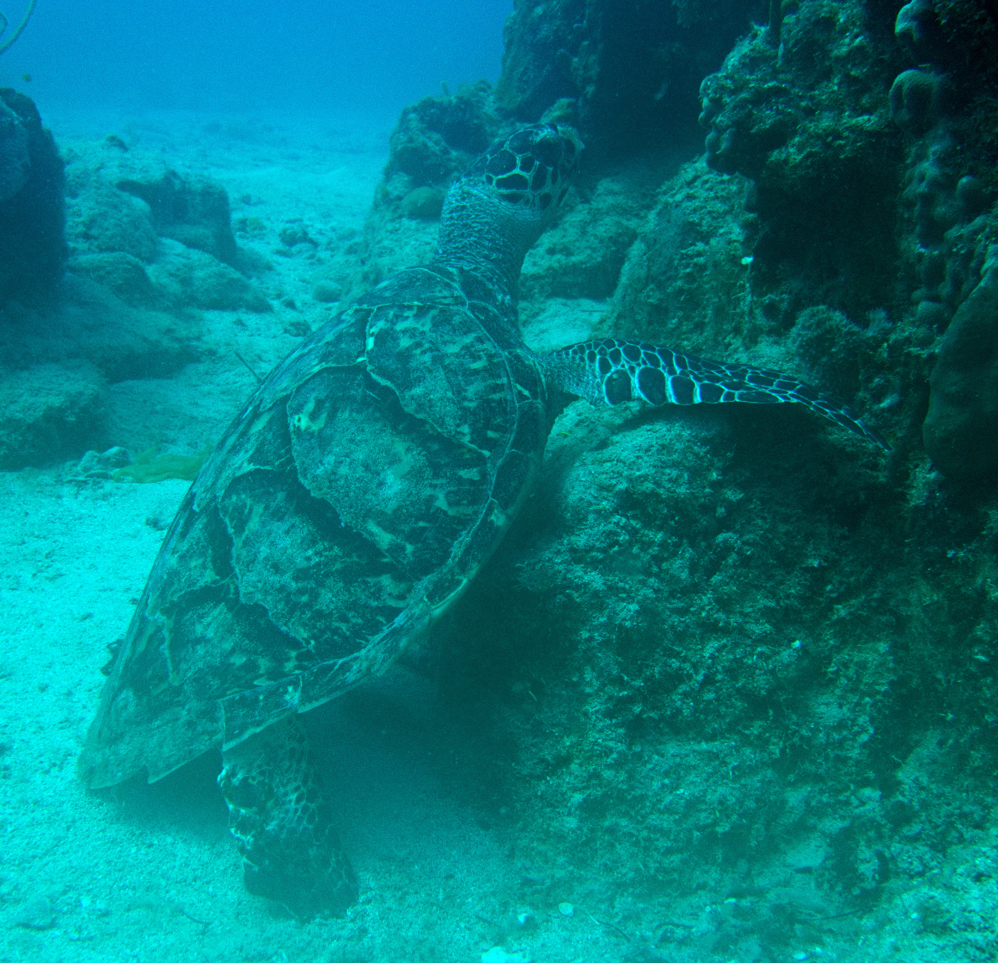 Green Sea Turtle relaxing on the bottom