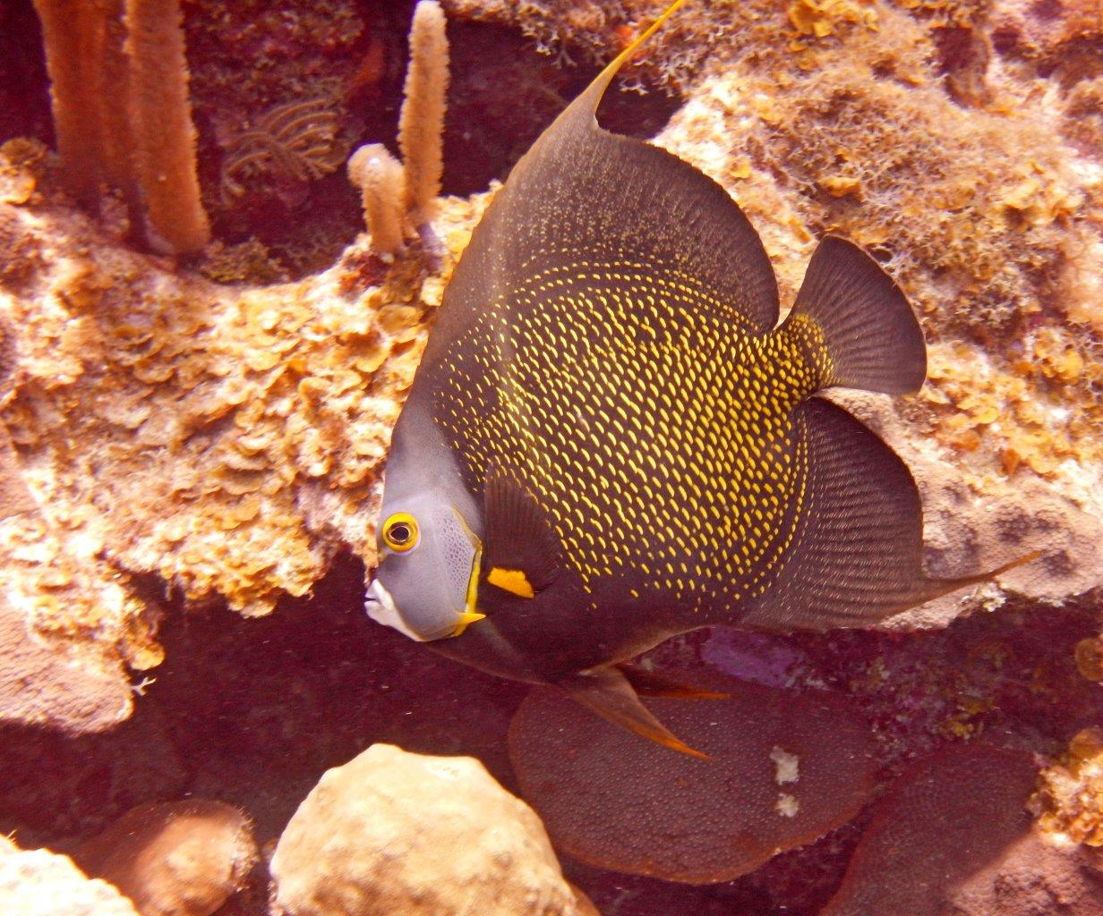 French Angelfish side view