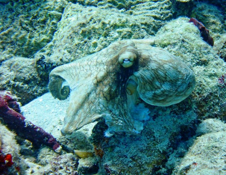 "Despite the name ""Common Octopus,"" they are hard to find"