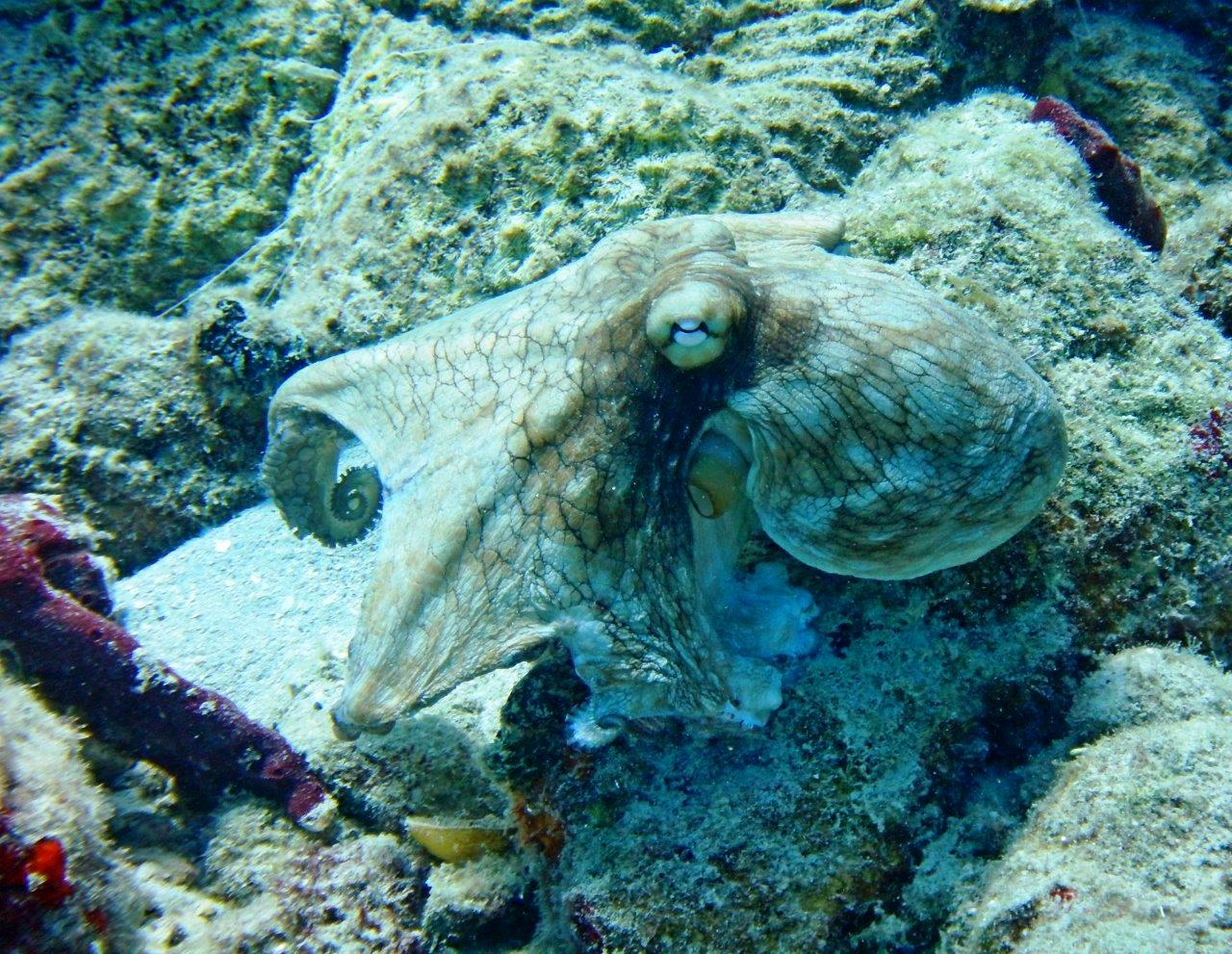 """Despite the name """"Common Octopus,"""" they are hard to find"""