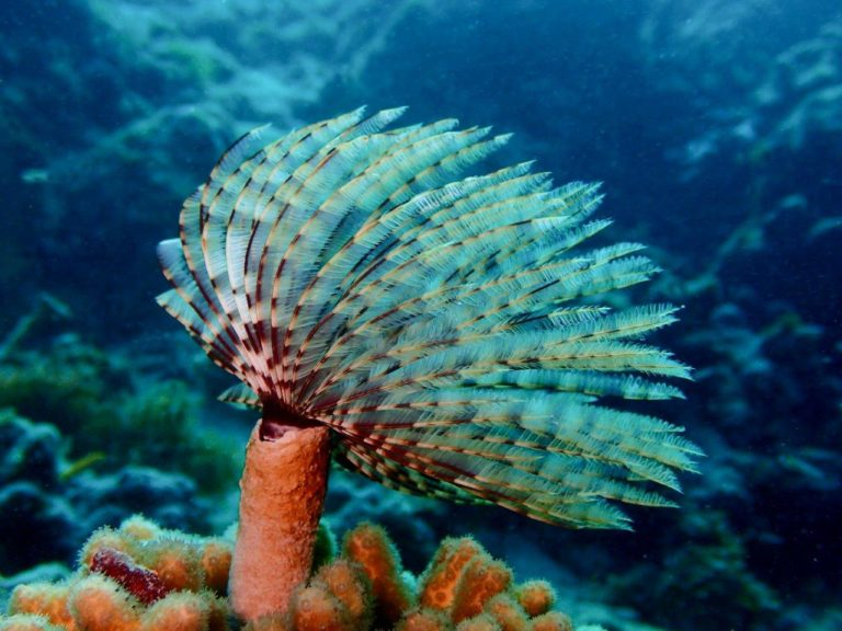 Magnificent Feather Duster blowing in the current