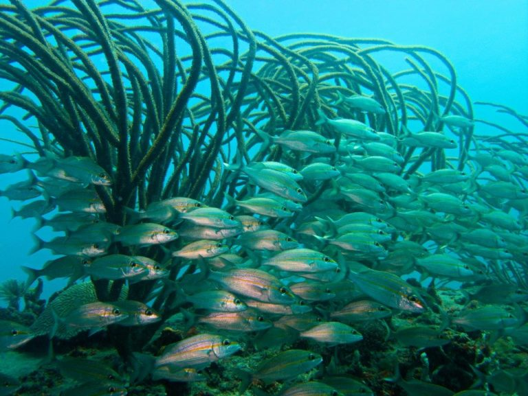 School of Tomtates and soft coral
