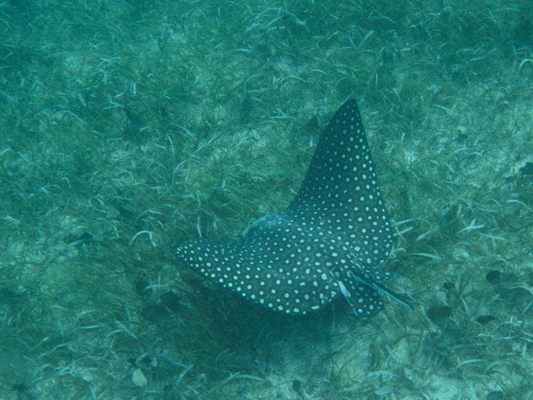 Eagle ray at Creole Rock, Grand Case