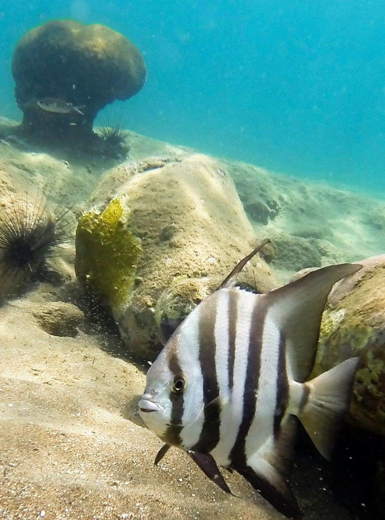 Atlantic Spadefish - a rare find in the Caribbean