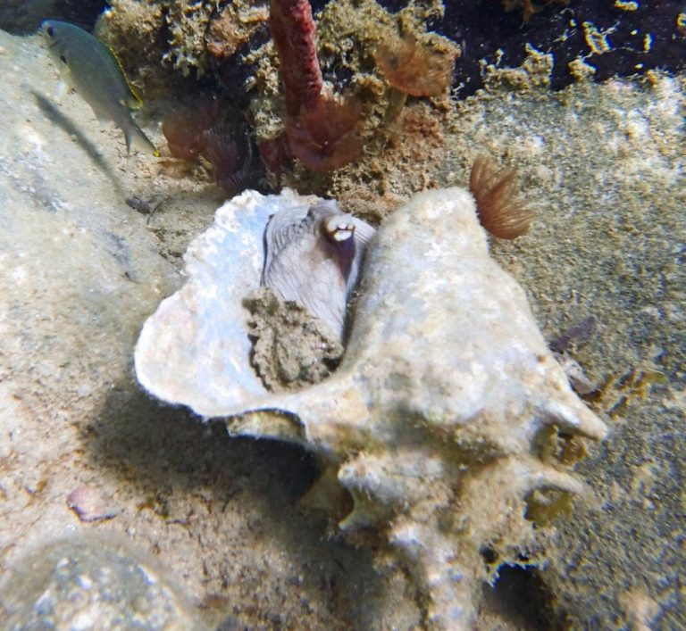 Common Octopus in conch shell