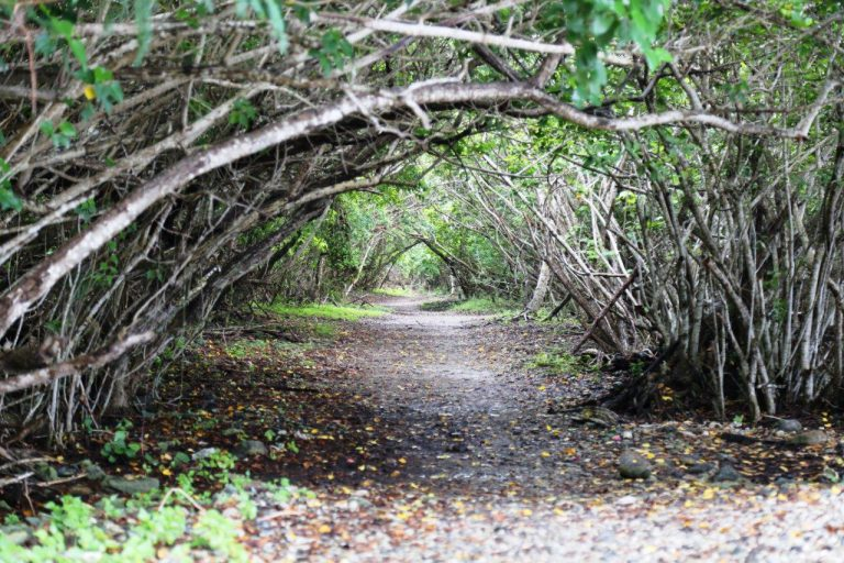 "A natural mangrove ""tunnel"" in the Virgin Islands National Park"